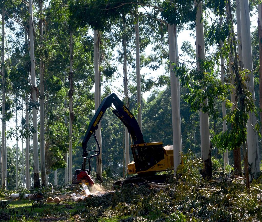 L'abatteuse-façonneuse H845C façonnant des arbres dans un peuplement, pendant un deuxième éclaircissage.